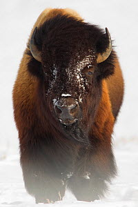 Bison (Bison bison) in snow. Yellowstone National Park, USA, February. - Danny Green