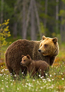 Brown Bear (Ursus arctos) and cub. Finland, Europe, June.  -  Danny Green