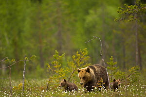 Brown Bear (Ursus arctos) and cubs in woodland meadow. Finland, Europe, June.  -  Danny Green