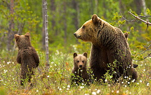 Brown Bear (Ursus arctos) and cubs. Finland, Europe, June.  -  Danny Green