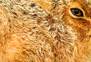 Brown Hare (Lepus europaeus) close-up of fur and eye. Derbyshire, UK, March.  -  Danny Green