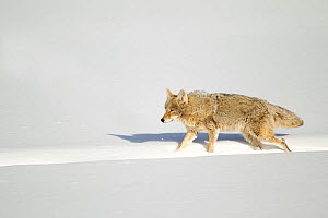 Coyote (Canis latrans) walking along a bison track in snow. Yellowstone, USA, February. - Danny Green