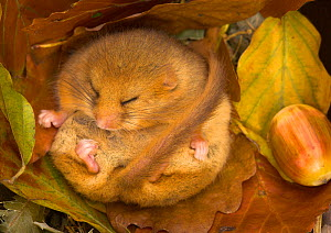 Hazel Dormouse (Muscardinus avellanarius) hibernating amongst leaves and acorns. Captive. Leicestershire, UK, October.  -  Danny Green