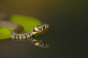 Grass Snake (Natrix natrix) on lily pad, reflected in water. Leicestershire, UK, October.  -  Danny Green