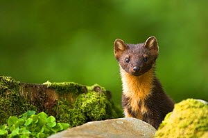Pine Marten (Martes martes) amongst rocks. Scotland, UK, July.  -  Danny Green