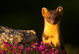 Pine Marten (Martes martes) portrait with heather. Scotland, UK, July. - Danny Green