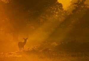 Red Deer (Cervus elaphus) hind in early morning mist. Bradgate Park, Leicestershire, UK, September.  -  Danny Green