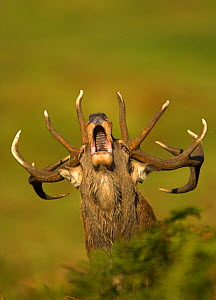 Red Deer (Cervus elaphus) stag roaring. Bradgate Park, Leicestershire, UK, October. - Danny Green
