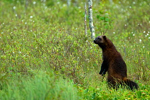 Wolverine (Gulo gulo) in a forest, standing on hind legs. Finland, Europe, June. - Danny Green