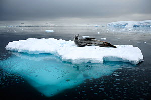 Leopard seal (Hydrurga leptonyx) resting on iceberg, Gerlache Strait, Antarctic Peninsula, Antarctica, March 2010. WINNER OF NATURE CATEGORY OF POLLUX COMPEITITON / AWARDS 2013  -  Enrique Lopez-Tapia
