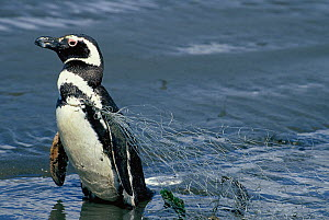 Magellanic penguin (Spheniscus magellanicus) caught in fishing nets on the island of Chiloe, Chile - Enrique Lopez-Tapia