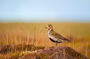 Golden plover (Pluvialis apricaria) adult on open moorland, breeding plumage, Shetland Islands, Scotland, UK, May  -  Andrew Parkinson / 2020VISION