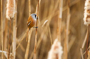 Bearded tit / reedling / parrotbill (Panurus biarmicus) adult male perched on reed stem amongst Bullrushes (Typha latifolia) Rainham Marshes RSPB Reserve, London, UK, February  -  Andrew Parkinson / 2020VISION