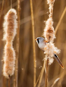 Bearded tit / reedling / parrotbill (Panurus biarmicus) adult male perched on Bullrush (Typha latifolia) Rainham Marshes RSPB Reserve, London, UK, February - Andrew Parkinson / 2020VISION