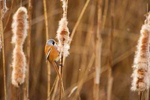 Bearded tit / reedling / parrotbill (Panurus biarmicus) adult male perched on Bullrush (Typha latifolia) feeding on seeds, Rainham Marshes RSPB Reserve, London, UK, February. Did you know? Bearded tit...  -  Andrew Parkinson / 2020VISION
