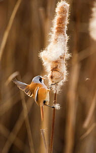 Bearded tit / reedling / parrotbill (Panurus biarmicus) adult male landing on Bullrush (Typha latifolia) feeding on seeds, Rainham Marshes RSPB Reserve, London, UK, February - Andrew Parkinson / 2020VISION