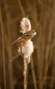 Bearded tit / reedling / parrotbill (Panurus biarmicus) adult male perched on Bullrush (Typha latifolia) feeding on seeds, Rainham Marshes RSPB Reserve, London, UK, February  -  Andrew Parkinson / 2020VISION