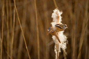 Bearded tit / reedling / parrotbill (Panurus biarmicus) adult male and female perched on Bullrush (Typha latifolia) feeding on seeds, Rainham Marshes RSPB Reserve, London, UK, February  -  Andrew Parkinson / 2020VISION