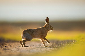 European brown hare (Lepus europaeus) adult male, running, pursuing a female, Elmley Marshes, Kent, UK, February  -  Andrew Parkinson / 2020VISION