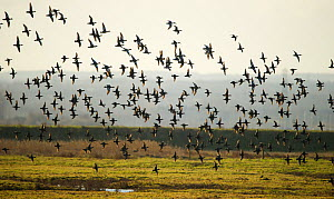 Flock of European wigeon (Anas penelope) in flight over Elmley Marshes RSPB reserve, Kent, UK, February  -  Andrew Parkinson / 2020VISION