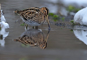 Common snipe (Gallinago gallinago) feeding in shallow water in snow, Wales, UK, March - Andy Rouse / 2020VISION