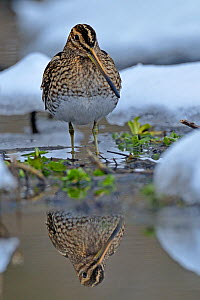 Common snipe (Gallinago gallinago) standing in shallow water in snow, Wales, UK, March - Andy Rouse / 2020VISION