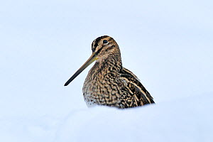 Common snipe (Gallinago gallinago) in snow, Wales, UK, March. Crop of 01392268. Did you know?  The tweeting noise made by a male snipe during its display flight is caused by the wind whistling through... - Andy Rouse / 2020VISION