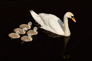 Mute Swan (Cygnus olor) with cygnets, Shapwick NNR, Avalon Marshes, Somerset Levels, UK, February  -  Andy Rouse / 2020VISION