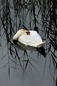 Mute Swan (Cygnus olor) resting, Shapwick NNR, Avalon Marshes, Somerset Levels, UK, February  -  Andy Rouse / 2020VISION