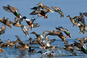 Mixed flock of Northern shovelers (Anas clypeata), Gadwalls (Anas strepera) and Common teal (Anas crecca) taking off from a small lagoon, Brownsea Island, Dorset, England, UK, February. Did you know?...  -  Bertie Gregory / 2020VISION