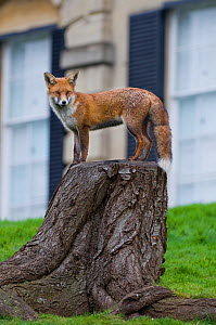 Young Red fox (Vulpes vulpes) standing on tree stump in garden, Bristol, UK, January - Bertie Gregory / 2020VISION