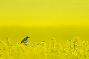 Yellow wagtail (Motacilla flava flavissima) adult female perched in oilseed rape crop (Brassica napus) on arable farm, Hertfordshire, UK, April. Did you know? Although wagtails are almost constantly w... - Chris Gomersall / 2020VISION