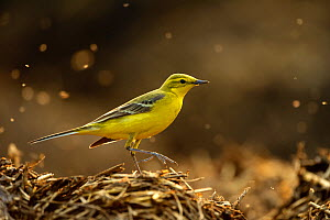 Yellow wagtail (Motacilla flava flavissima) adult male in spring plumage feeding on dung flies at farm midden heap, Hertfordshire, UK, April. Did you know? Yellow wagtails commonly used to nest in wat... - Chris Gomersall / 2020VISION