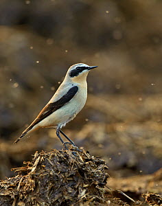 Northern wheatear (Oenanthe oenanthe) adult male in spring plumage feeding on dung flies at farm midden heap, Hertfordshire, UK, April  -  Chris Gomersall / 2020VISION