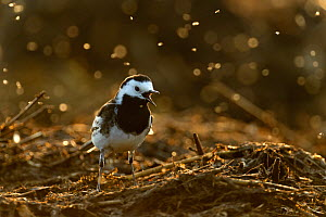 Pied wagtail (Motacilla alba yarrellii) adult male in spring plumage feeding on dung flies at farm midden heap, Hertfordshire, UK, April  -  Chris Gomersall / 2020VISION