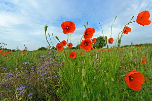 Herb rich conservation margin with field Poppies (Papaver rhoeas) and Scorpionweed (Phacelia tanacetifolia) RSPB's Hope Farm, Cambridgeshire, UK, May  -  Chris Gomersall / 2020VISION