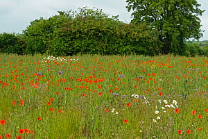 Herb rich conservation margin with Ox-eye daisies (Leucanthemum vulgare) Field poppies (Papaver rhoeas) and Scorpionweed (Phacelia tanacetifolia), RSPB's Hope Farm, Cambridgeshire, UK, May  -  Chris Gomersall / 2020VISION