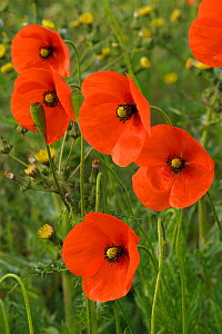 Herb rich conservation margin with Field poppies (Papaver rhoeas) RSPB Hope Farm, Cambridgeshire, UK, May - Chris Gomersall / 2020VISION