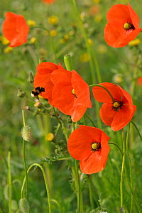 Herb rich conservation margin with Field poppies (Papaver rhoeas) and Buff-tailed bumble bee (Bombus terrestris) RSPB Hope Farm, Cambridgeshire, UK, May  -  Chris Gomersall / 2020VISION