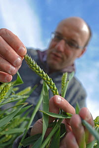 Farm manager, Chris Bailey, inspecting Wheat crop (Triticum aestivum) at RSPB's Hope Farm, Cambridgeshire, UK, May 2011, model released - Chris Gomersall / 2020VISION