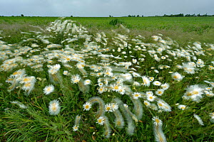 Ox-eye daisies (Leucanthemum vulgare) blowing in the breeze at RSPB's Hope Farm, Cambridgeshire, UK, May 2011 - Chris Gomersall / 2020VISION
