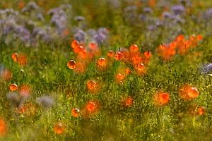 Herb rich conservation margin with Field poppies (Papaver rhoeas) and Scorpionweed (Phacelia tancetifolia) at RSPB's Hope Farm, Cambridgeshire, UK, May 2011. Abstract featuring multiple exposure techn... - Chris Gomersall / 2020VISION
