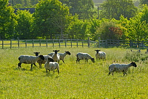 Flock of newly clipped Domesitc sheep grazing in pasture at RSPB's Hope Farm, Cambridgeshire, UK, May 2011.  -  Chris Gomersall / 2020VISION