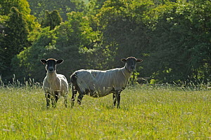 Two newly clipped Domesitc sheep grazing in pasture at RSPB's Hope Farm, Cambridgeshire, UK, May 2011.  -  Chris Gomersall / 2020VISION