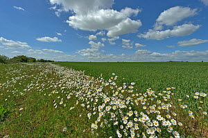 Herb rich conservation margin around farmland with Ox-eye daisies (Leucanthemum vulgare) at RSPB's Hope Farm, Cambridgeshire, UK, May 2011  -  Chris Gomersall / 2020VISION