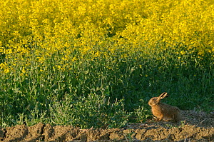 Brown hare (Lepus europaeus) by Oilseed rape crop at RSPB's Hope Farm, Cambridgeshire, UK, April 2011.  -  Chris Gomersall / 2020VISION