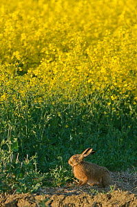 Brown hare (Lepus europaeus) by oilseed rape crop at RSPB's Hope Farm in Cambridgeshire. April 2011. - Chris Gomersall / 2020VISION