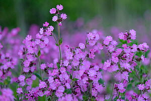Red campion (Silene dioica) flowering in conservation margin at RSPB's Hope Farm, Cambridgeshire, UK, April 2011. - Chris Gomersall / 2020VISION