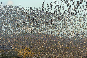 Flock of Red knot (Calidris canutus) and Bar-tailed godwit (Limosa lapponica) in flight at high water on the Wash estuary, Snettisham RSPB reserve, Norfolk, England, UK, March  -  Chris Gomersall / 2020VISION