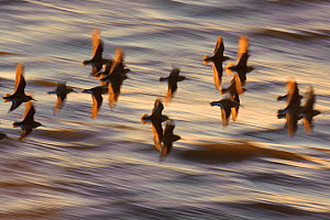 Flock of Dunlin (Calidris alpina) in flight at sunset over the Wash estuary, Snettisham RSPB reserve, Norfolk, England, UK, March. Did you know? While migrating, dunlins travel in massive groups of up...  -  Chris Gomersall / 2020VISION